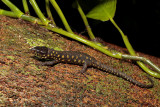 Yellow-spotted Night Lizard