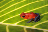 Strawberry Poison-dart Frog (Blue Jeans Frog)