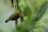 Carmiol's Tanager (Olive Tanager)