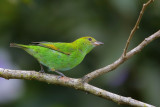 Rufous-winged Tanager (female)
