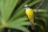 Gray-capped Flycatcher
