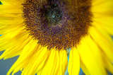 3rd September 2018  last sunflower