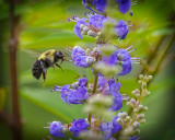 Bee on Chaste Bush
