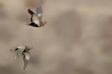 Black-bellied sandgrouse (Pterocles orientalis)