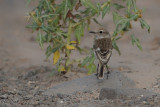 Canary Islands stonechat (Saxicola dacotiae)
