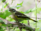 American Redstart (female or first year male)