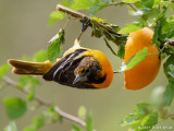 Baltimore Oriole (first year male)