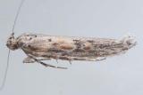 1968 - Gnorimoschema alaricella