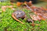 Geotritone (Speleomantes italicus)