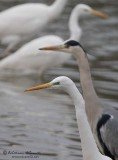 Airone bianco maggiore (Ardea alba)