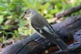 Balia dal collare (Ficedula albicollis)