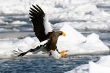 Steller s Sea'Eagle
