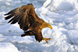White-tailed Sea Eagle (early in the morning)