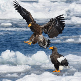 Steller's -and White-tailed Sea Eagle