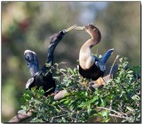 Anhingas - male & female