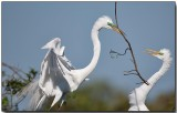 Great Egret - nest building