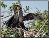 Double-crested Cormorant - feeding a fledgling