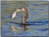Anhinga - with a fish