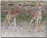 White-tailed Deer Fawns