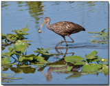 Limpkin with lunch (snail)
