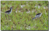 Black-necked Stilt, immature