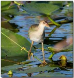 Purple Gallinule - immature