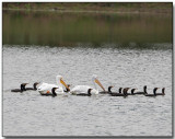 Fishing fleet - Cormorants and White Pelicans