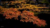 170419-4_foliage_red_yellow_3250s.jpg