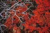 170419-4_foliage_red_deadbranch_3223s.jpg