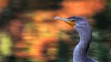 Cormoran d'automne