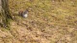 Écureuil gris