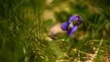 Hyménoptère sur Violette