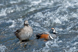 Arlequin plongeur - Harlequin duck - Histrionicus histrionicus