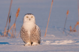 Harfang des neiges - Snowy owl -  Nyctea scandiaca