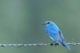 Merlebleu azuré - Mountain bluebird - Sialia currucoides
