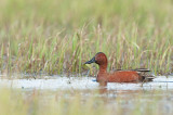 Sarcelle cannelle - Cinnamon teal - Anas cyanoptera