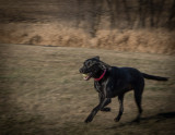 Dog in Motion