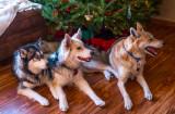 Three Dogs Under the Tree
