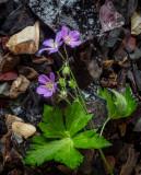 Wild Geranium on the Rocks