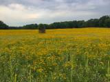 Summertime Field