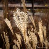 Back Lit Grass