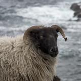 Achill Ram