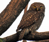 Asian Barred or Jungle Owlet