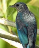 Verditer flycatcher juvenile