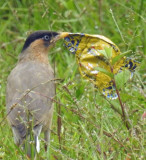 Brahminy starling with candy wrapper (July 2017)
