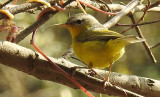 Grey-headed Warbler