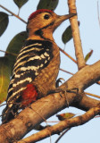 The fulvous-breasted woodpecker photographed