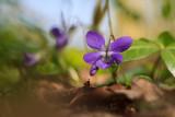 Fiołek Rivina (Viola riviniana)