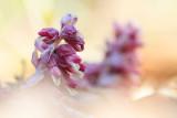 Luskiewnik rozowy (Lathraea squamaria)