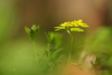 Sledziennica skretolistna (Chrysosplenium alternifolium)